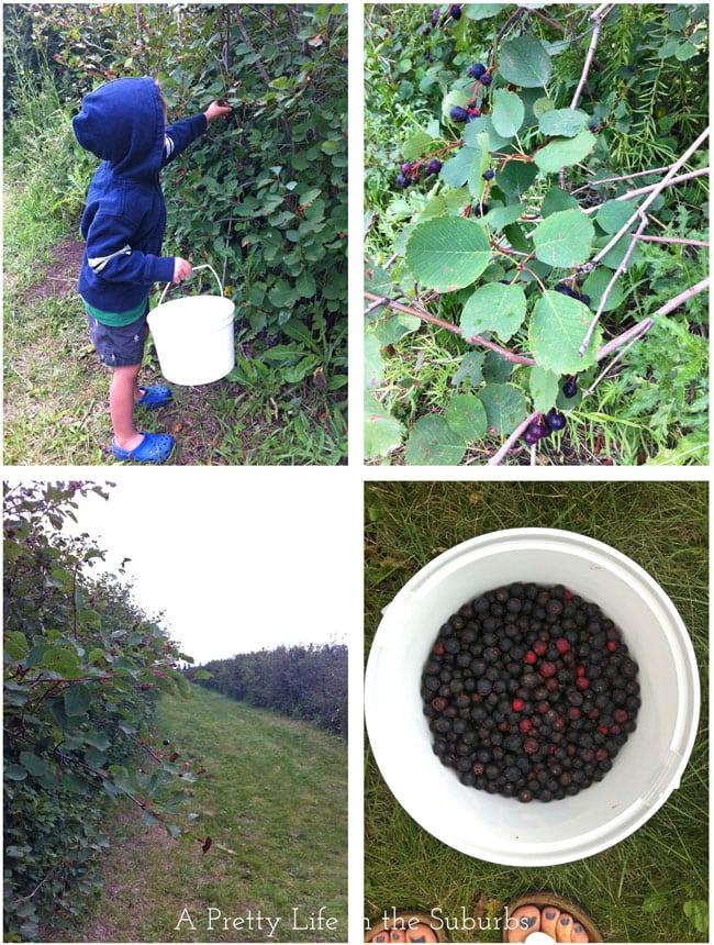 Saskatoon Berry Picking
