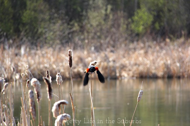 Red-Winged-Blackbird-in-Flight-{A-Pretty-Life}