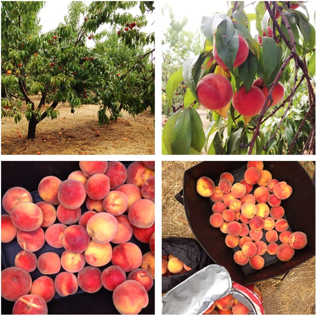Peach Picking in Oregon