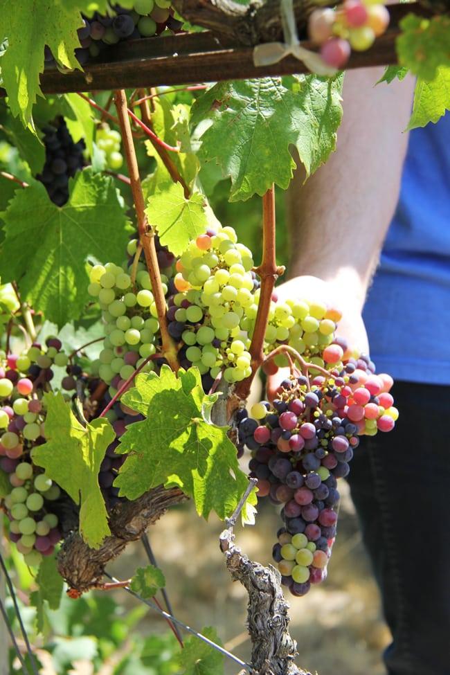 Grapes in veraison 2