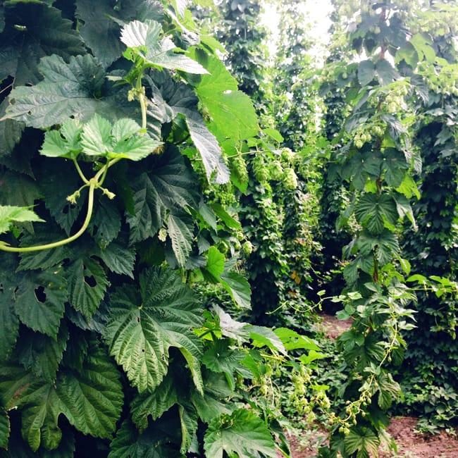 Oregon Hops Fields {A Pretty Life}