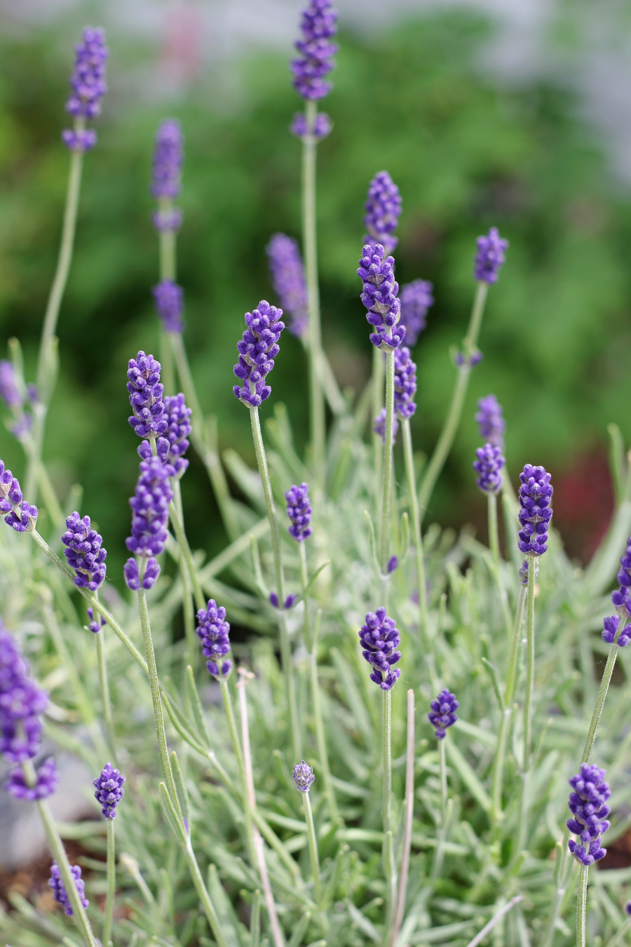 Planting an Edible Flower Garden: Lavender