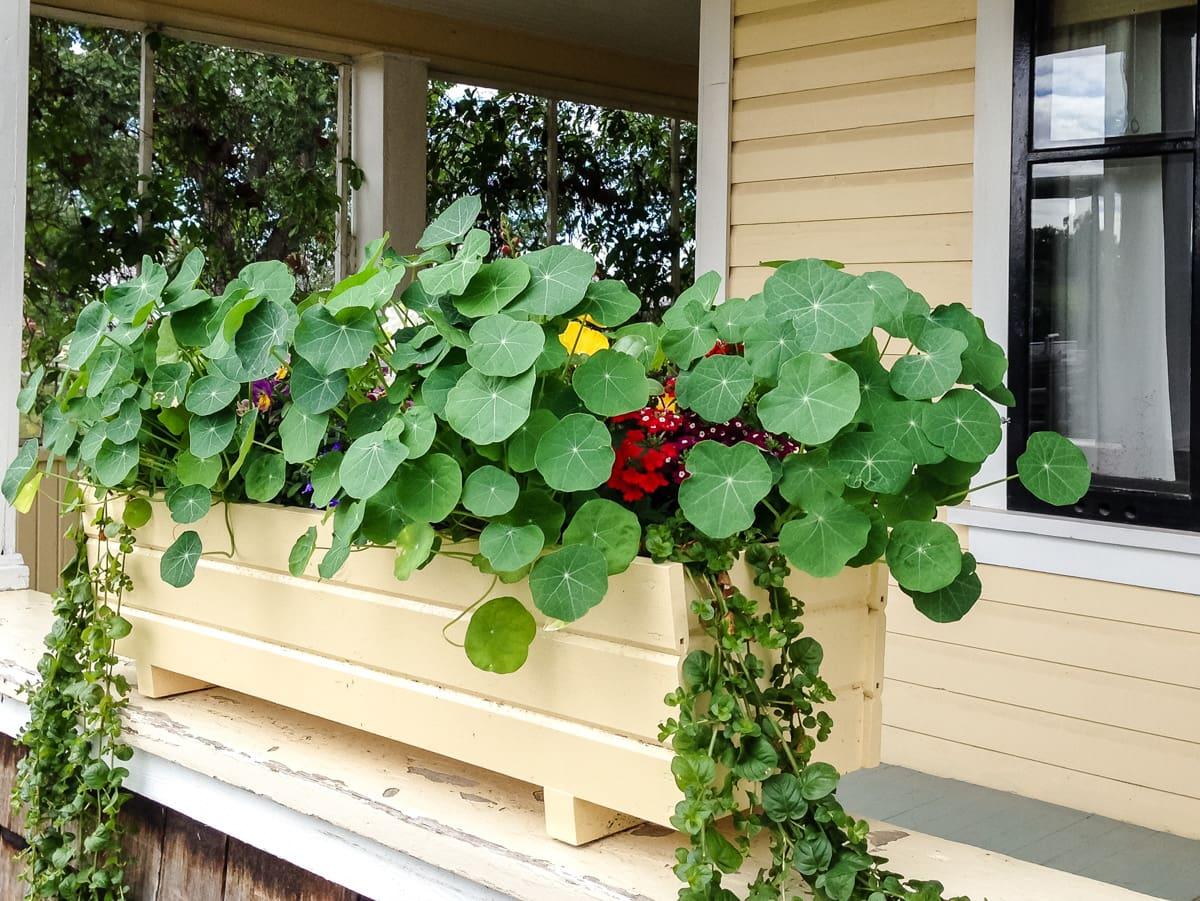 Planting an Edible Flower Garden: Nasturtiums
