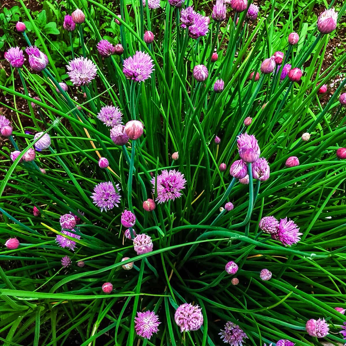 Planting an Edible Flower Garden: Chive Blossoms