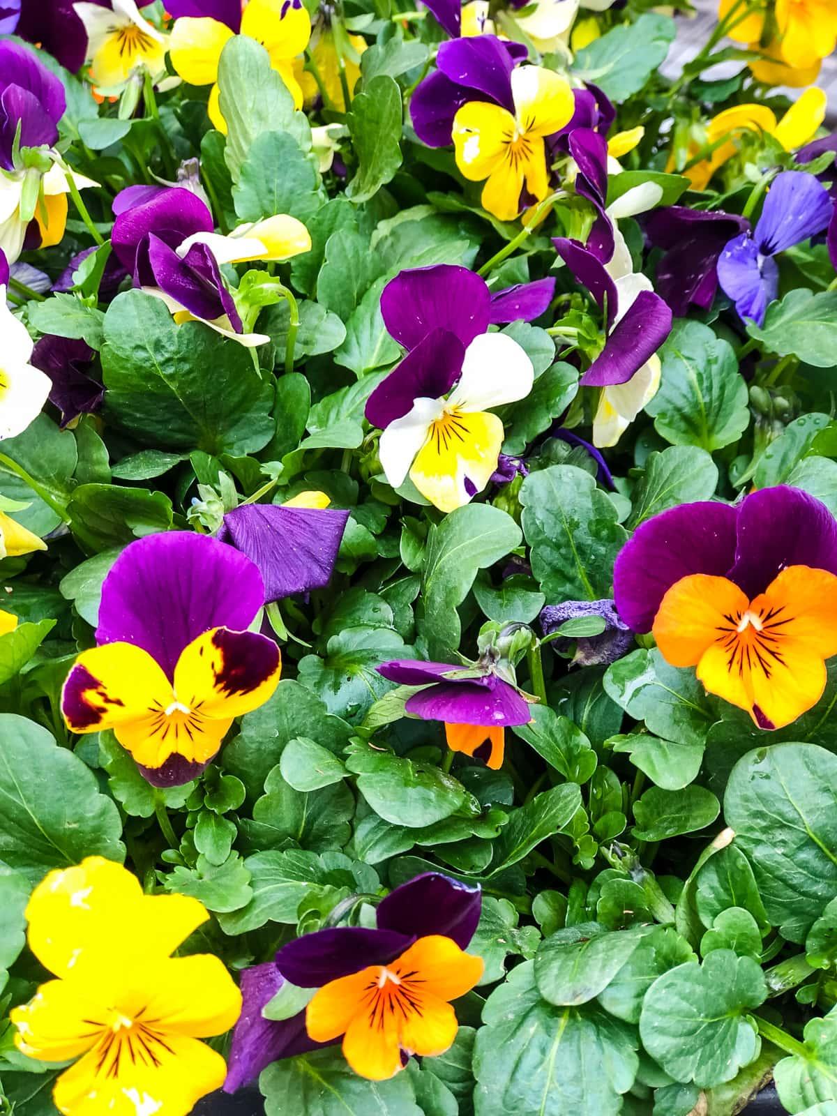 Planting an Edible Flower Garden: Pansies