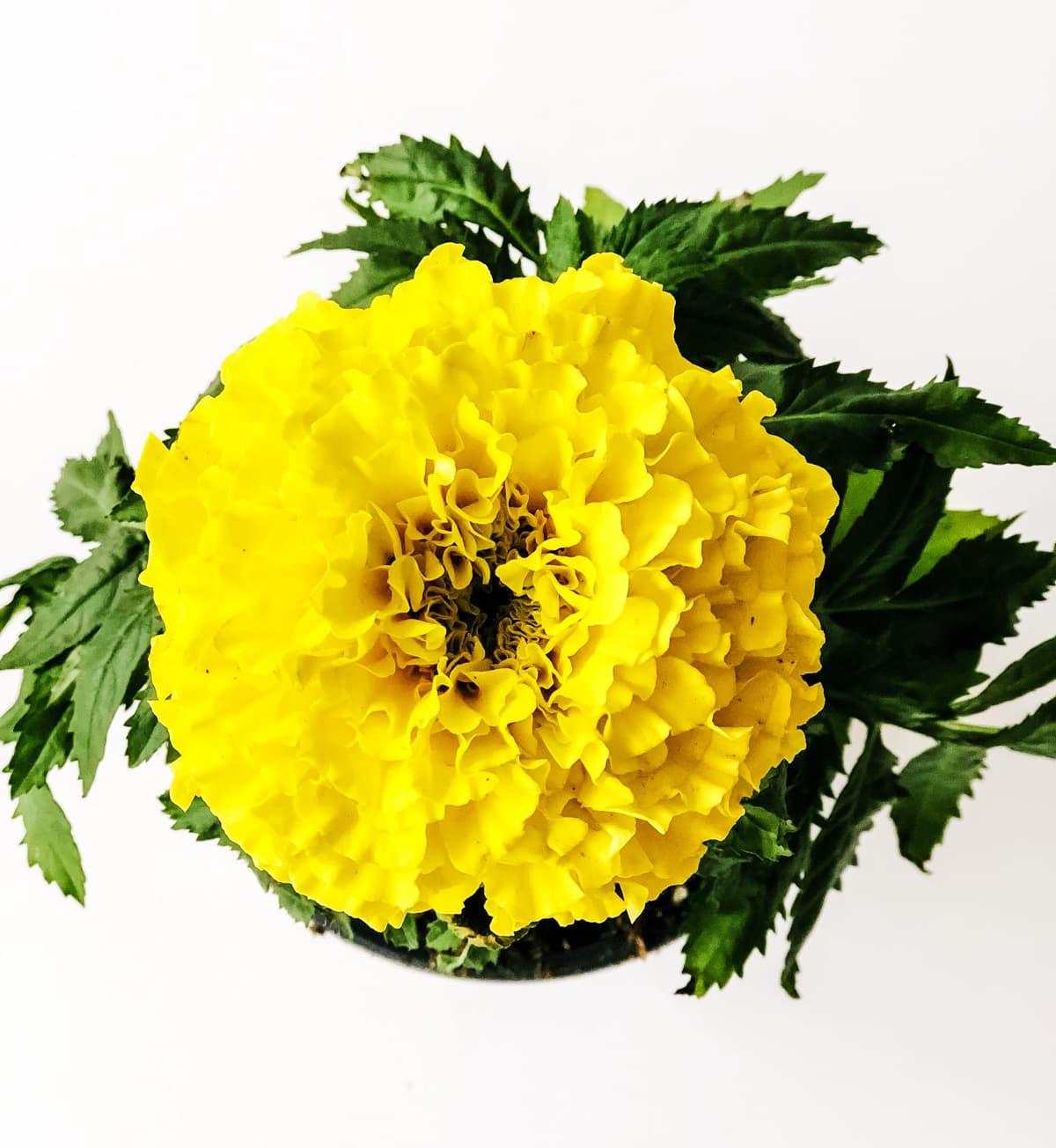 Planting an Edible Flower Garden: Marigolds